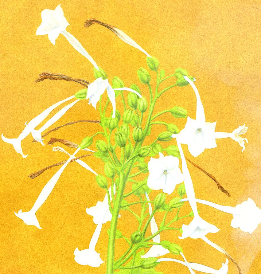 Painting: 'Nicotiana, the Tobacco Plant Fairy'
